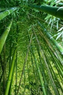 Fototapety NATURA bambusy 6538