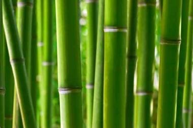 Fototapety NATURA bambusy 6539