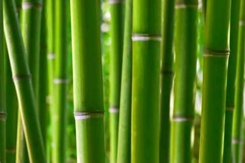 Fototapety NATURA bambusy 6539-big