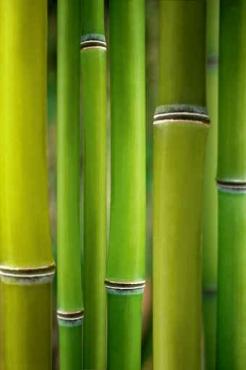 Fototapety NATURA bambusy 6541