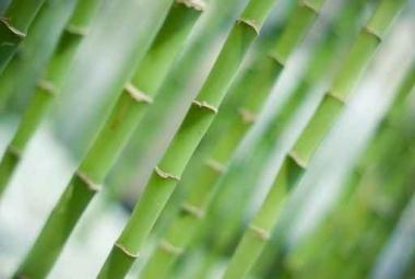 Fototapety NATURA bambusy 6542
