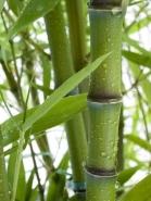 Fototapety NATURA bambusy 6543 mini