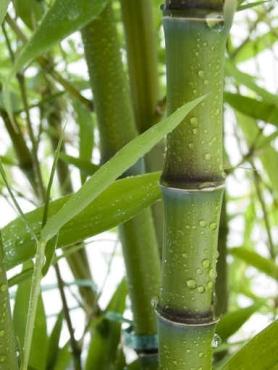 Fototapety NATURA bambusy 6543