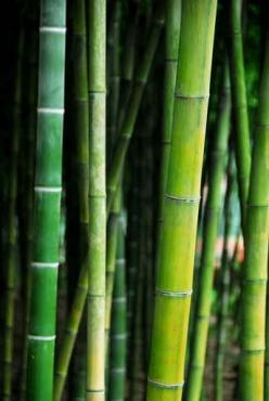 Fototapety NATURA bambusy 6545
