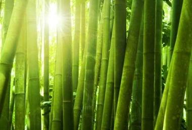 Fototapety NATURA bambusy 6546