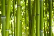 Fototapety NATURA bambusy 6549 mini