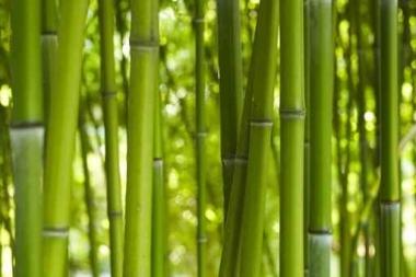 Fototapety NATURA bambusy 6549