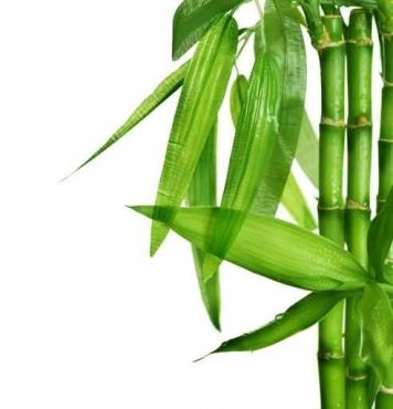 Fototapety NATURA bambusy 6551