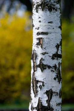 Fototapety NATURA drzewa 6594