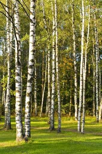 Fototapety NATURA drzewa 6616-big