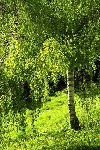 Fototapety NATURA drzewa 6617-big