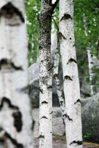 Fototapety NATURA drzewa 6648-big