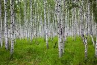 Fototapety NATURA drzewa 6656 mini