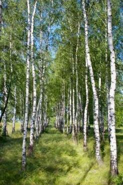 Fototapety NATURA drzewa 6676