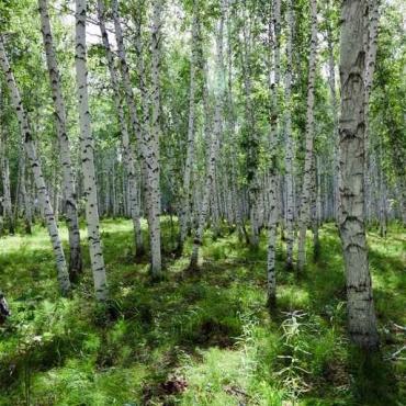 Fototapety NATURA drzewa 6680
