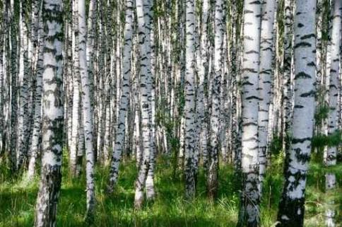 Fototapety NATURA drzewa 6695-big
