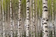 Fototapety NATURA drzewa 6696 mini