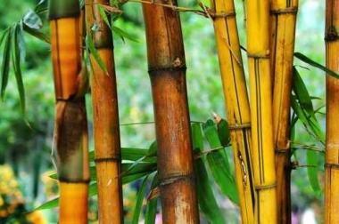 Fototapety NATURA bambusy 7134
