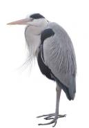 Fototapety ZWIERZĘTA ptaki 7968 mini