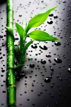 Fototapety NATURA bambusy 8566