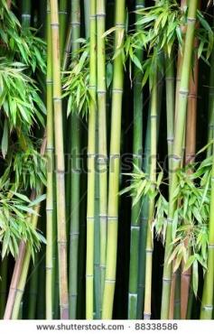 Fototapety NATURA bambusy 8568