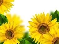 Fototapety KWIATY żółte 8600 mini