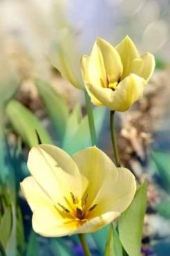 Fototapety KWIATY żółte 8604