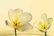 Fototapety KWIATY żółte 8605 mini