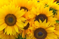 Fototapety KWIATY żółte 8608 mini
