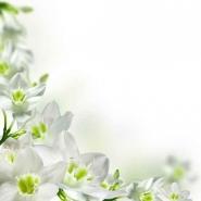 Fototapety KWIATY białe 8609 mini