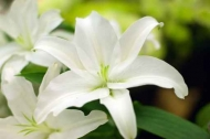 Fototapety KWIATY białe 8670 mini