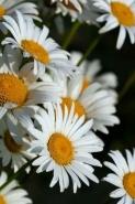 Fototapety KWIATY białe 8677 mini