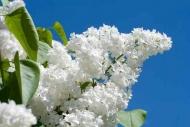 Fototapety KWIATY białe 8725 mini