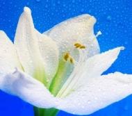 Fototapety KWIATY białe 8726 mini