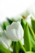 Fototapety KWIATY białe 8733 mini