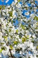 Fototapety KWIATY białe 8739 mini