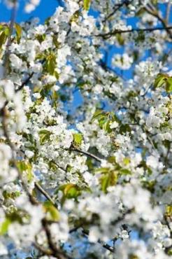 Fototapety KWIATY białe 8739