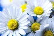 Fototapety KWIATY białe 8741 mini