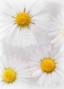 Fototapety KWIATY białe 8744 mini