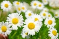 Fototapety KWIATY białe 8752 mini