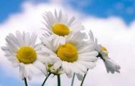 Fototapety KWIATY białe 8753 mini
