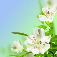 Fototapety KWIATY białe 8754 mini