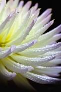 Fototapety KWIATY białe 8757 mini