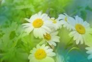 Fototapety KWIATY białe 8762 mini