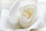 Fototapety KWIATY białe 8776 mini