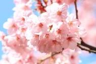 Fototapety KWIATY białe 8778 mini