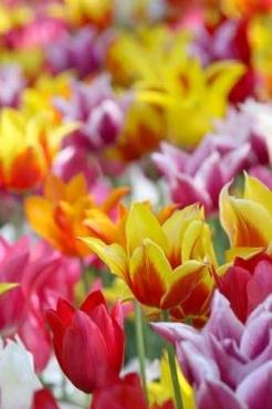 Fototapety KWIATY kolorowe 8805
