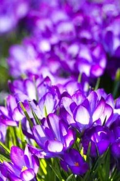 Fototapety KWIATY fioletowe 8850