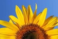 Fototapety KWIATY żółte 9064 mini