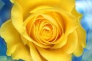 Fototapety KWIATY żółte 9065 mini